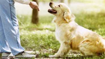 what is the right age to start training a golden retriever - a GR being trained to sit