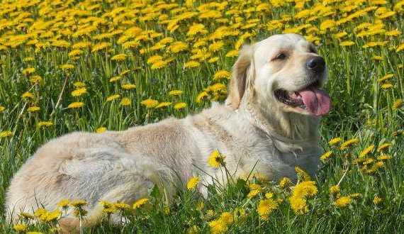 Dog Drives - a golden retriever laying in a field of flowers