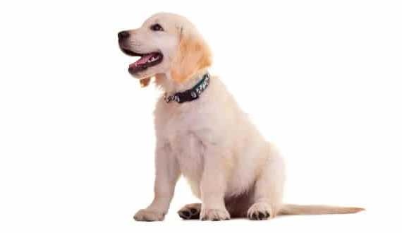 A golden retriever puppy sitting, looking away to the left, on white background