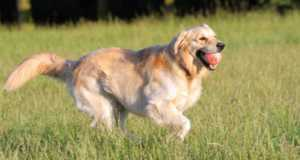 how much exercise does a golden retriever need - a GR running with a ball in its mouth