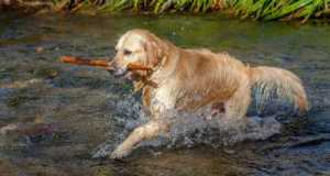 Golden Retriever carrying a stick splashing through water