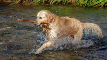 Golden Retriever carrying a stick splashing through water