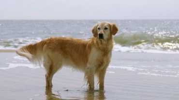Caring for your golden retriever - a GR standing ankle deep in the ocean
