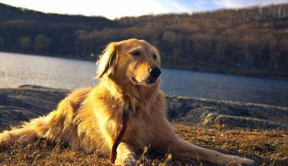 Dog training methods: A Golden retriever relaxing by a lake