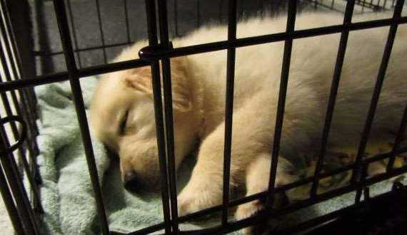 Is crate training cruel - a golden retriever puppy happily sleeping in a crate