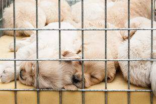 A litter of puppies in a cage on display