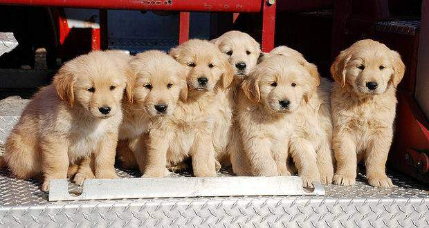 where is the best place to get a golden retriever? A pic of a litter of GR puppies