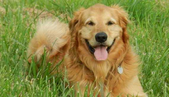Reading canine body language a Golden laying in the grass