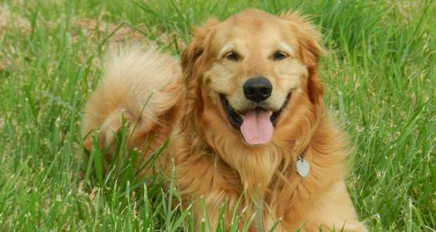 How to read canine body language: A Golden laying in the grass