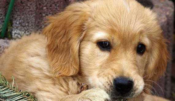 A cute golden retriever puppy close up