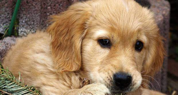 A cute golden retriever puppy close up