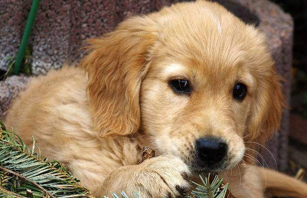 Golden retriever faq - a cute close up of puppys face