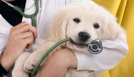 when to call the vet: A golden retriever puppy held by a vet