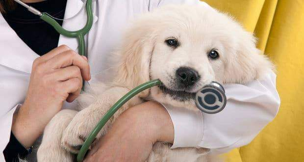 When To Call The Vet For Your Golden Retriever