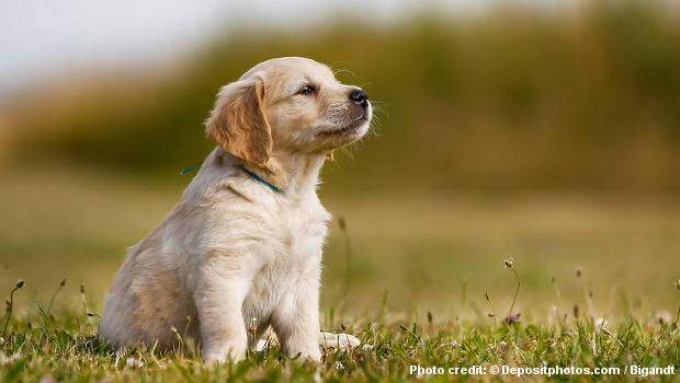 A golden retriever puppy sitting peacefully on grass