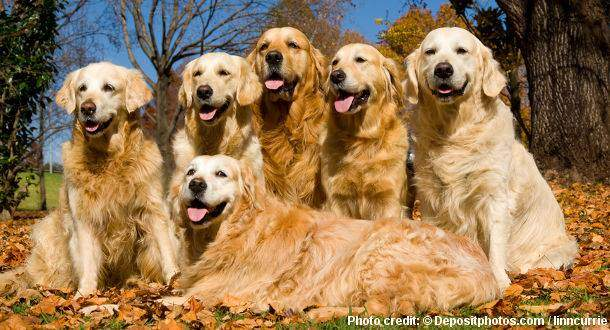 Questions to ask when getting a golden retriever