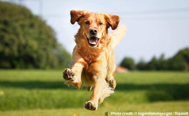 Golden Retriever health and care - A very healthy Golden jumping toward camera