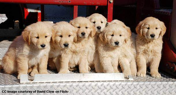 Golden Retriever Puppies on the back of a fire truck