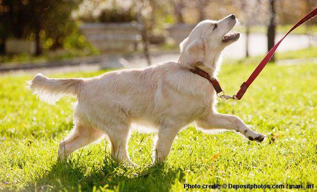 A Golden Retriever obedience training