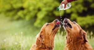 Two Golden Retrievers drinking water from a bottle