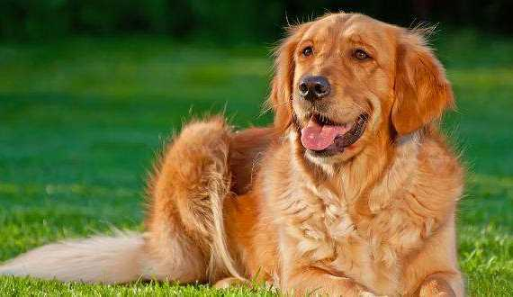 How to train a golden retriever to lie down - featured