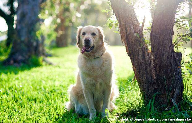 Train Your Golden Retriever How To Sit - a golden retriever sitting