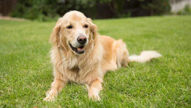 A yellow golden retriever relaxed lying down in grass