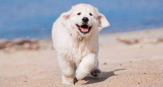 Good Chunky Chubby Adorable Dog - Golden-Retriever-Puppy  Collection_165520  .jpg