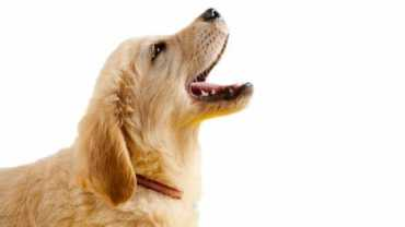 What do a dogs barks mean - A Golden puppy barking