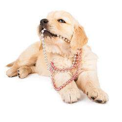 A Golden puppy chewing on a necklace