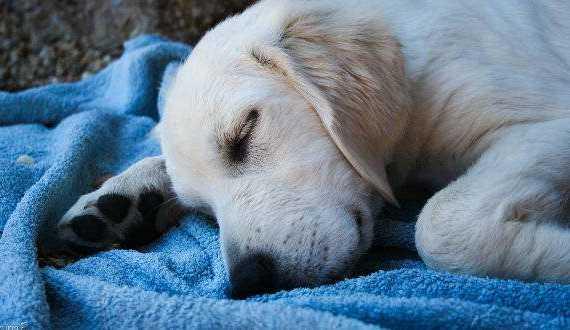 Golden puppy sleeping on a blue blanket