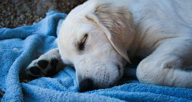 Golden puppy sleeping on a blue blanket