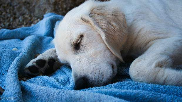 Golden Retriever sleeping on a blue blanket