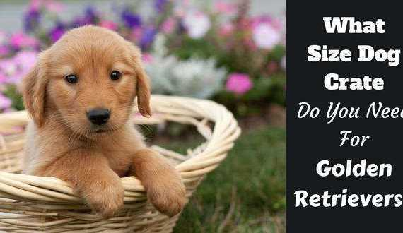 what size dog crate do you need written beside a golden retriever puppy in a basket