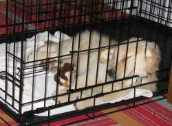A golden retriever sleeping in a crate