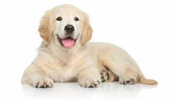 A golden retriever puppy laying smiling on white background