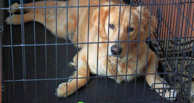 Crate Training A Golden Retriever Dog Or Puppy Gr Laying In