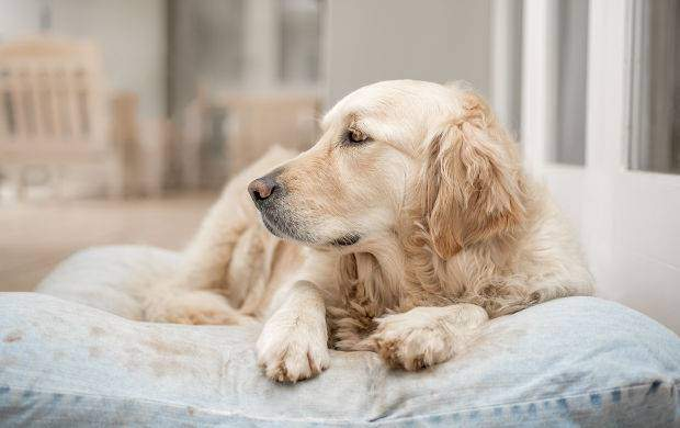 Golden retriever resting on a large pillow dog bed