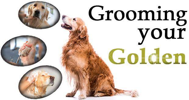 Golden retriever grooming what tasks need doing grooming your golden written beside a gr looking at 3 portraits of goldens being groomed solutioingenieria Images