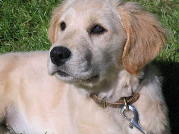 A golden retriever puppy lying on grass wearing a collar and leash