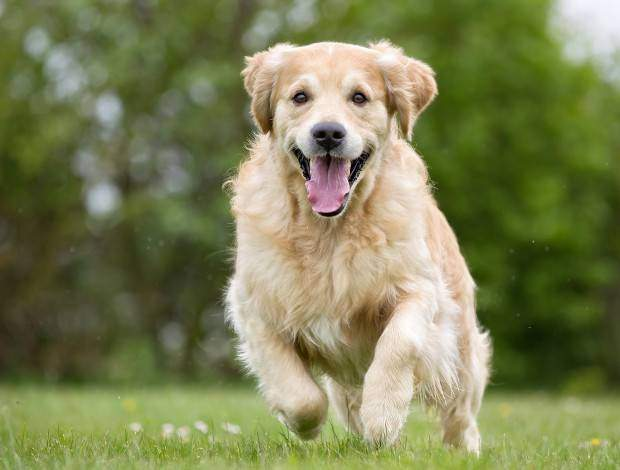 A purebred Golden Retriever dog running without leash outdoors in the nature on a sunny day.