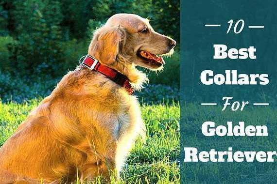 Best collars for golden retrievers written beside side view of GR in red collar sitting on grass