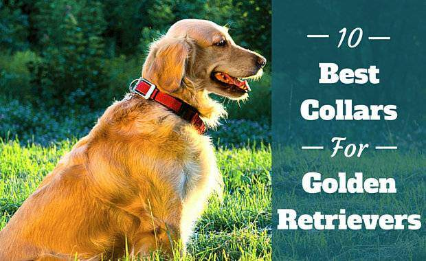 10 Of The Best Collars For Golden Retrievers
