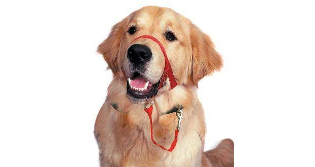 A golden retriever in a no pull solution head halti
