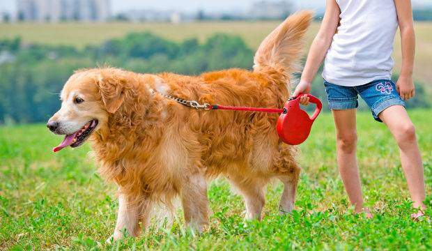 How much should a golden retriever be walked