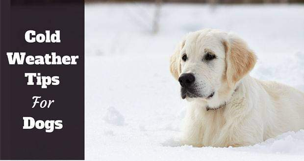 Almost white golden retriever lying in snow