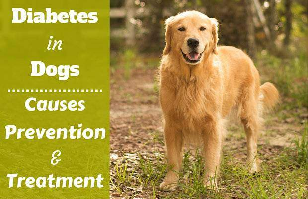 Diabetes in dogs written beside a golden retriever standing in the woods