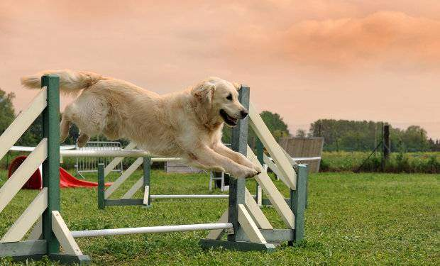A golden retriever jumping a fence against a sunset sky
