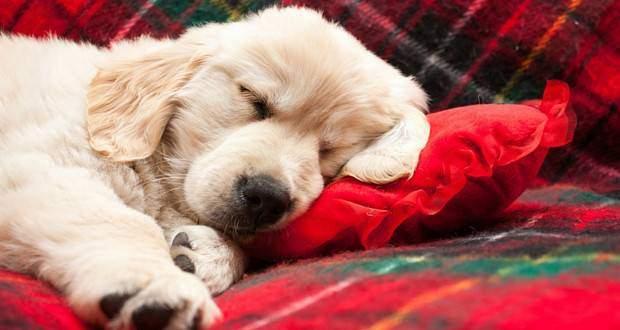 A golden retriever puppy sleeping on a tartan blanket