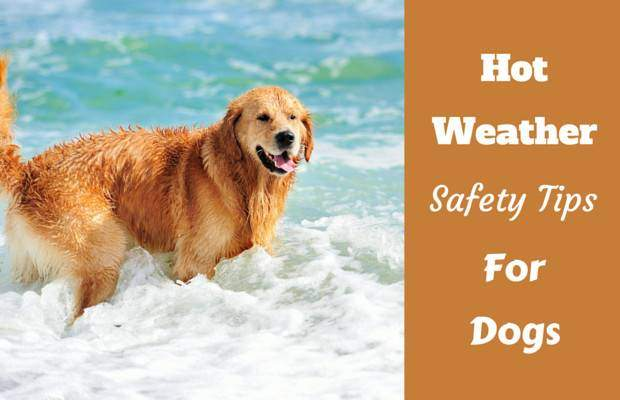 Hot weather safety tips written beside a golden standing in the surf
